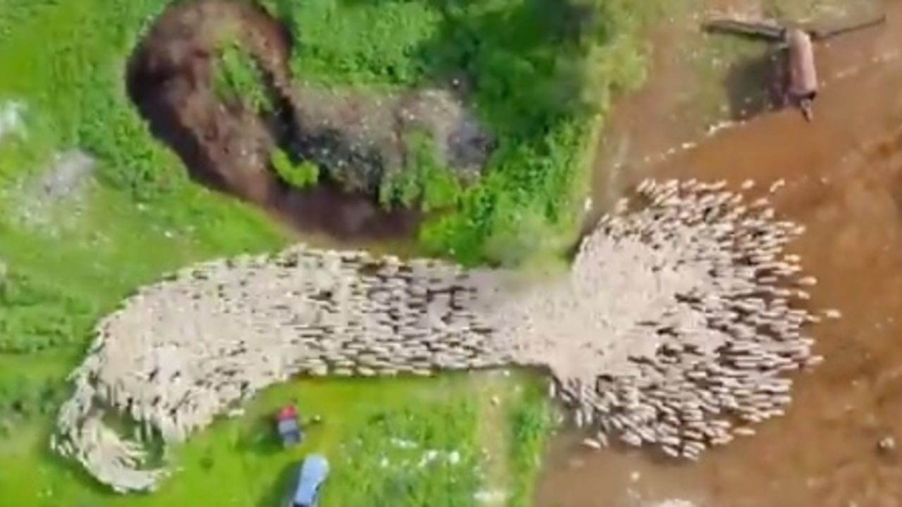 Sheep drone time-lapse